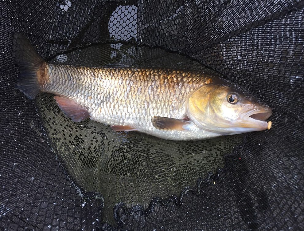 A typical chub from a snaggy peg requiring strong gear.